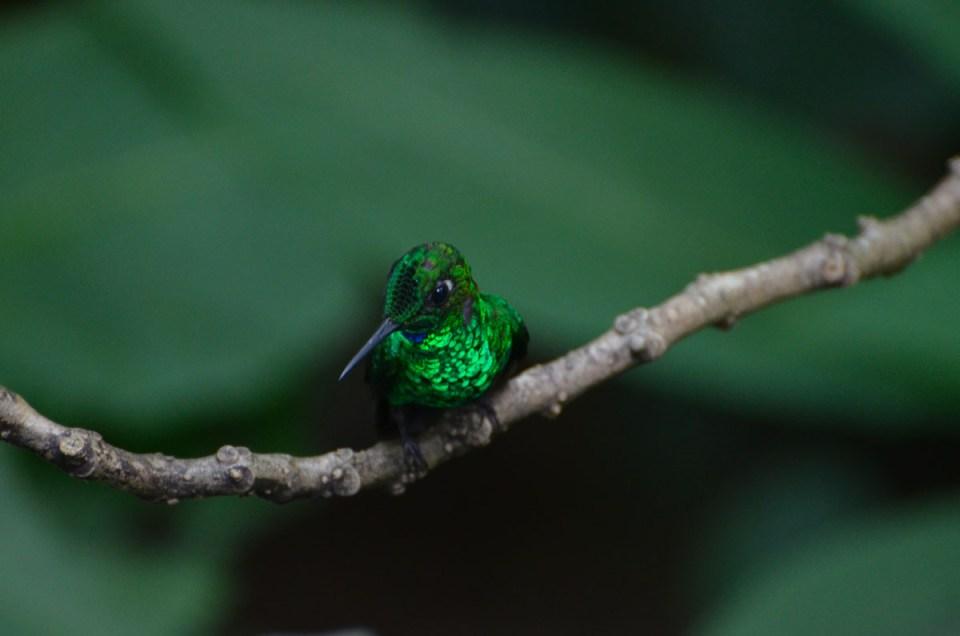 Colibri vert au Costa Rica