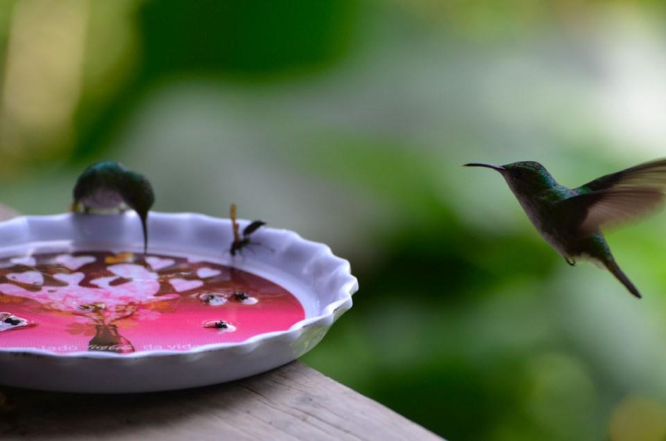 Deux colibris qui volent au Costa Rica