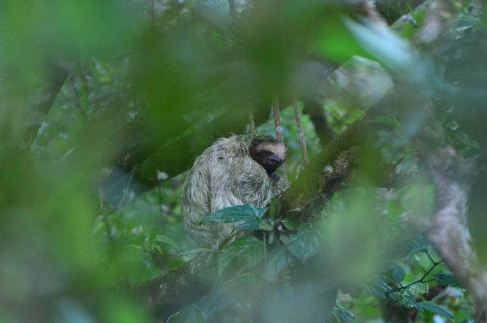 Vue sur un paresseux qui dort dans un arbre au Costa Rica
