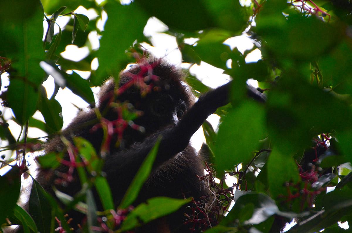 Singe araignée au Parc Corcovado, Costa Rica