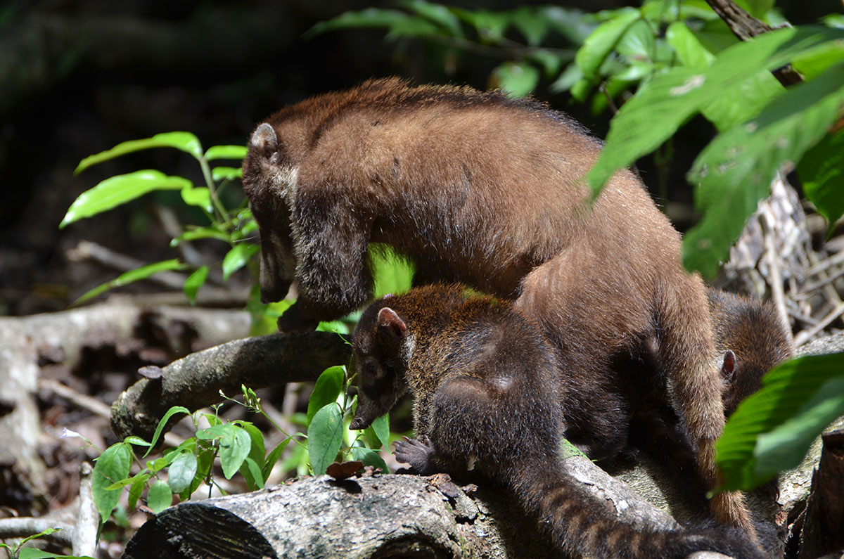 Famille coati au Parc Corcovado, Costa Rica