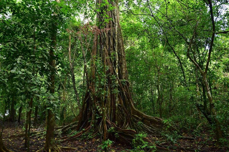 Ficus étrangleur géant au Parc Corcovado, Costa Rica