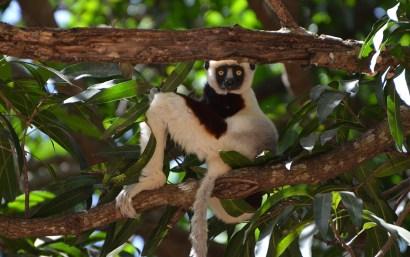 Lémurien dans un arbre, Madagascar