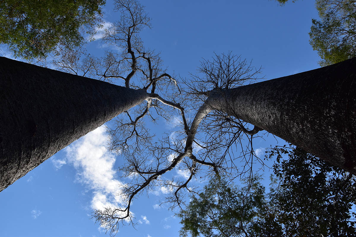 Baobab, Parc Ankarafantsika, Madagascar
