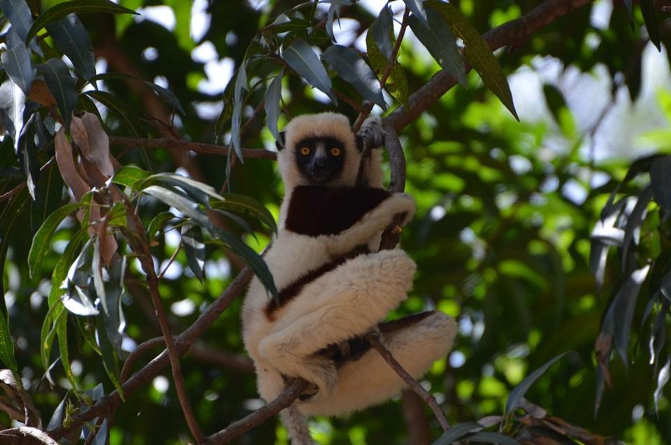 Lémurien, Parc Ankarafantsika, Madagascar