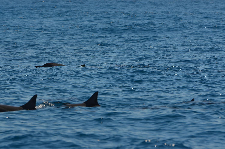 Plusieurs dauphins au large de Nosy Be