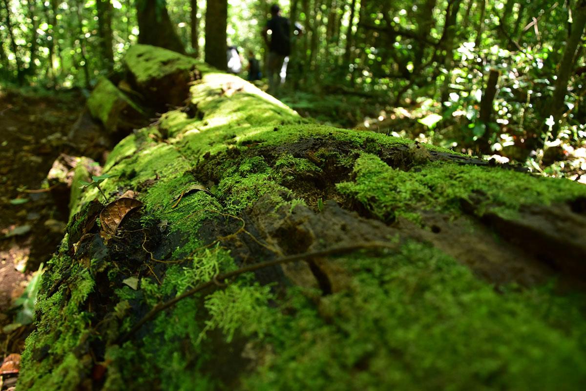 Souche d'arbre remplie de mousse au coeur de la Montagne d'Ambre