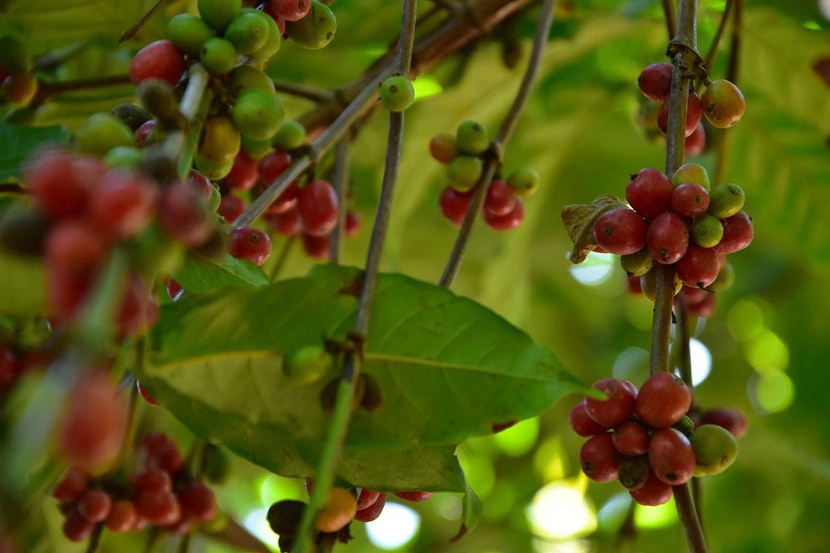 Branches de poivre rouge, Madagascar