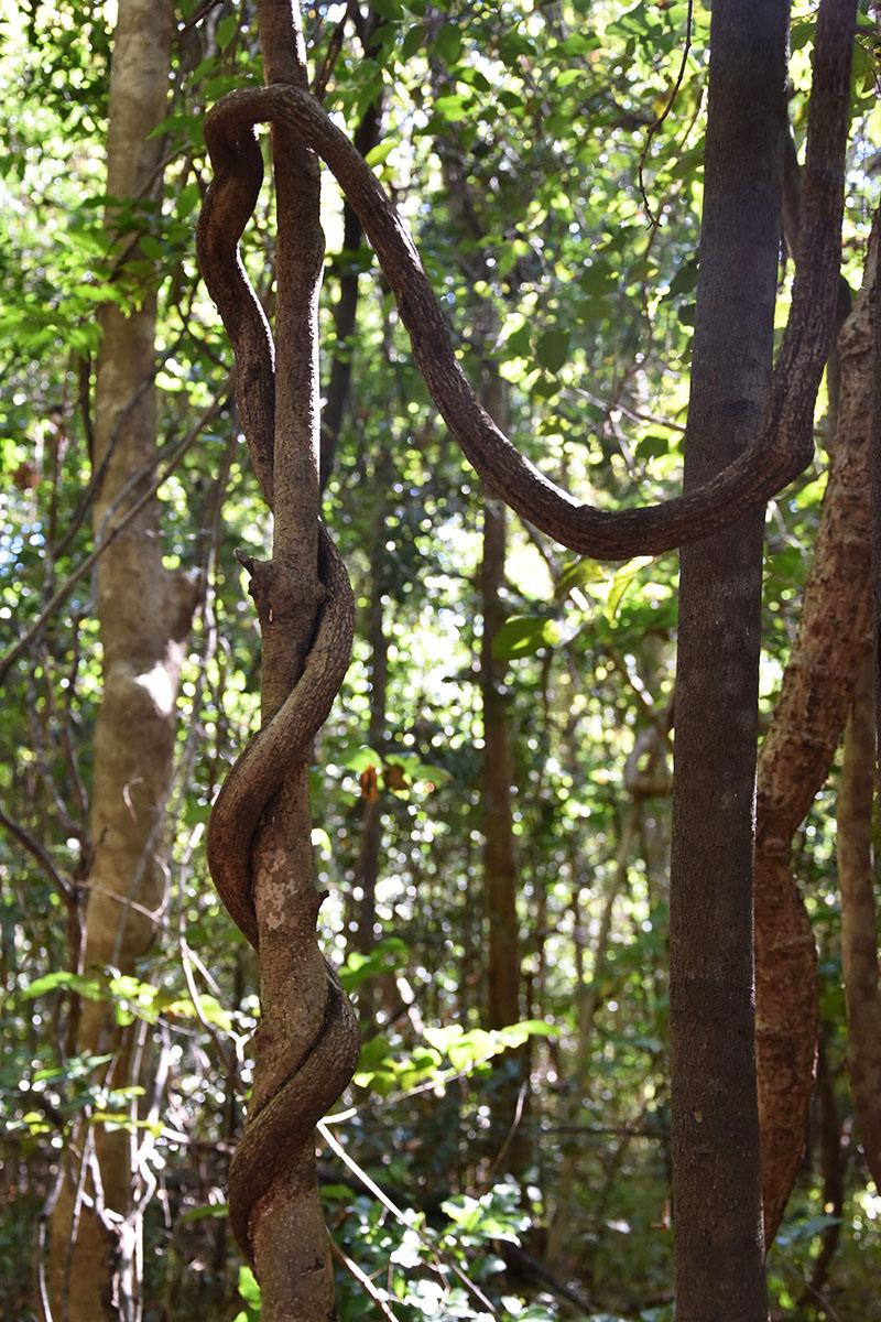 Ficus étrangleur, Ankarana, Madagascar