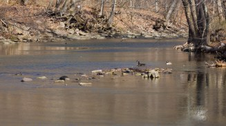 Geese in the creek.