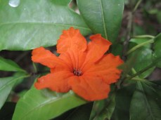 Ziricote flower