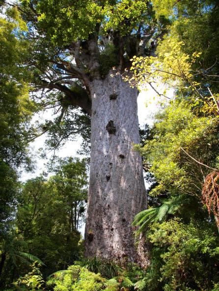 Tane Mahuta, König des Waldes - Nordinsel