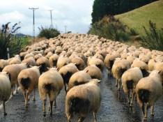 Verkehr / Stau in Neuseeland - Schafherde auf den Straßen der Südinsel