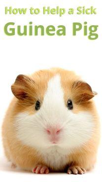 How to Help a Sick Guinea Pig