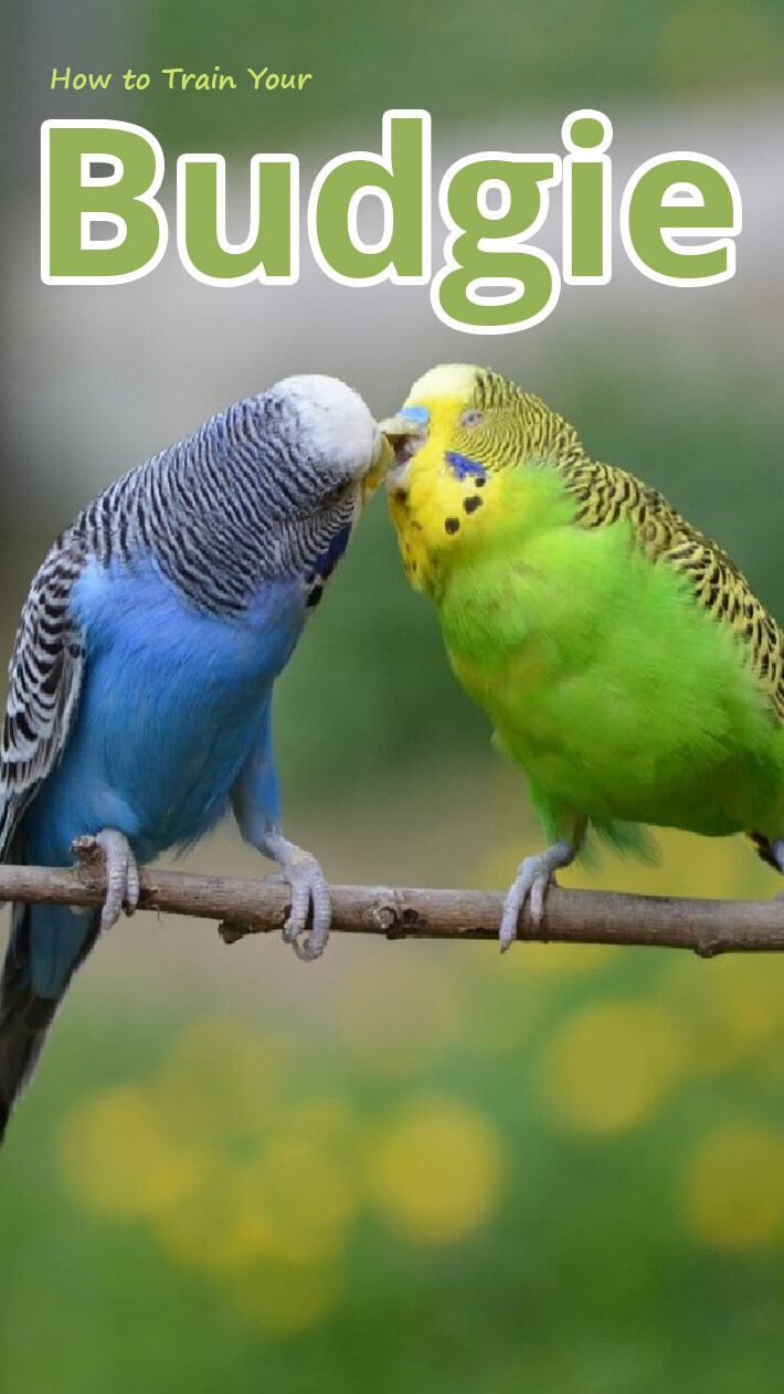 How to Train Your Pet Budgie