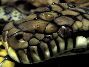 Recommended Tips:Burmese-Python-5 - Recommended Tips