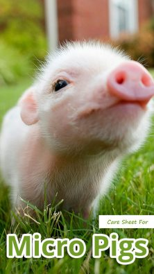 Care Sheet For Micro Pigs