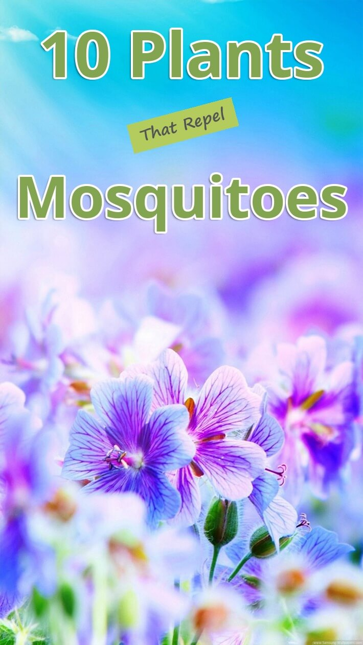 10 Plants That Repel Mosquitoes