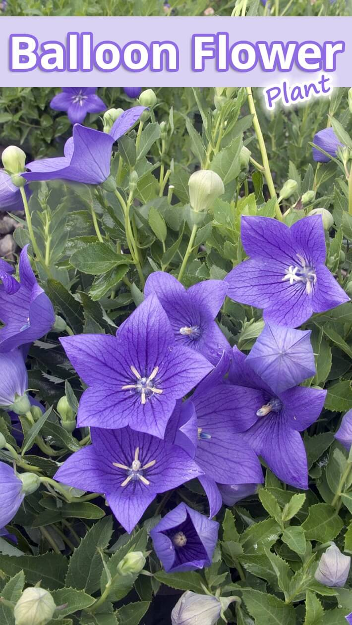 Recommended Tipsballoon Flower Plant Recommended Tips