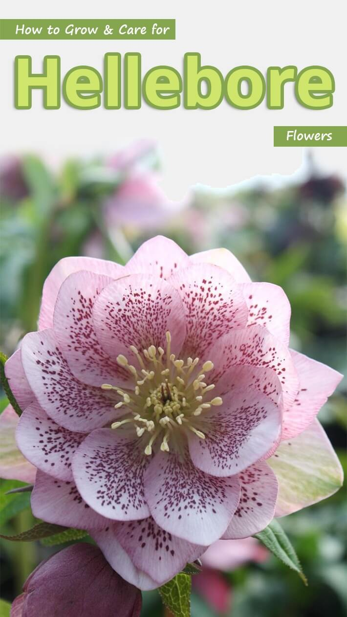 recommended tips how to grow  u0026 care for hellebore flowers