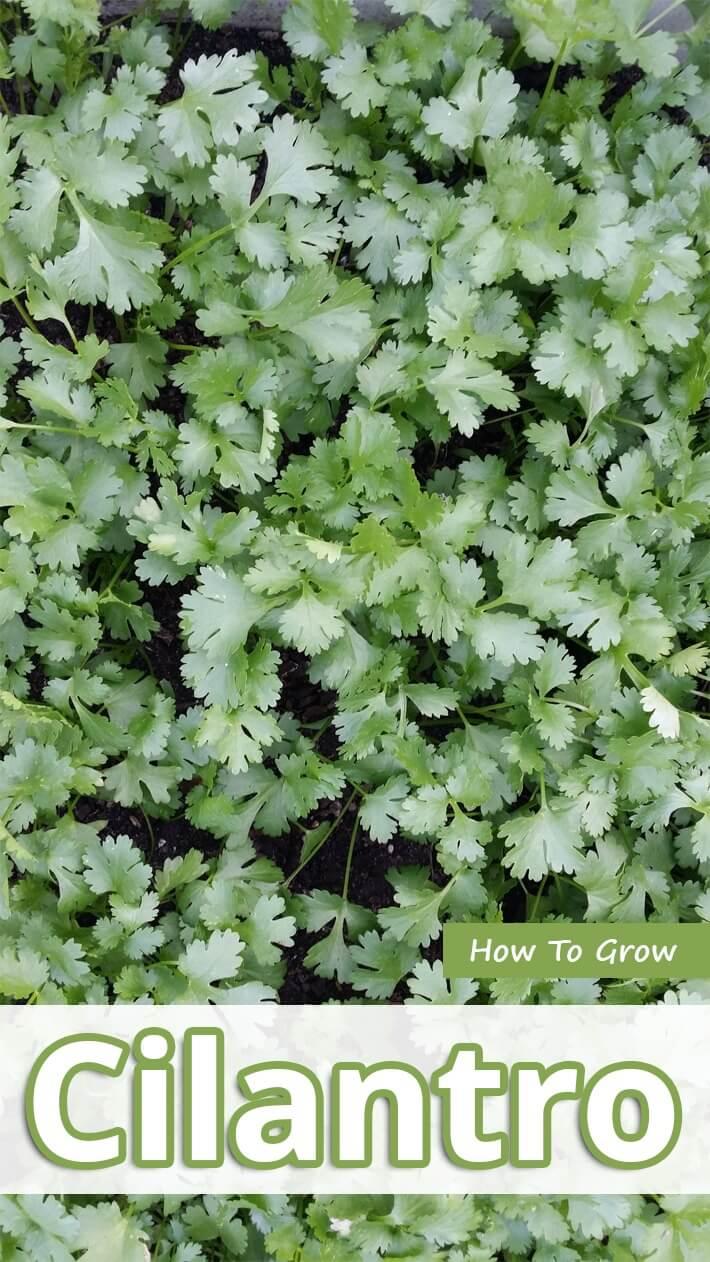 How To Grow Cilantro