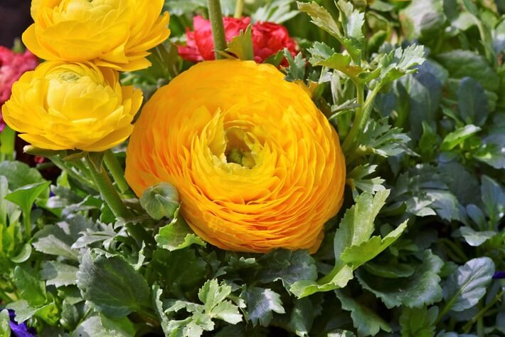 How to Grow Ranunculus Flowers