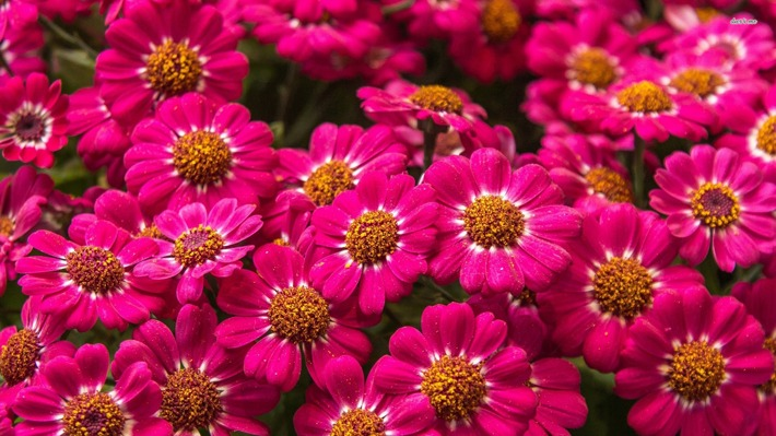 How to Grow Zinnias
