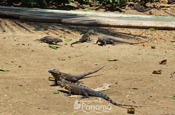 El nombre de la isla es por estas Iguanas.