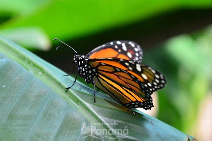 Mariposa Monarca.