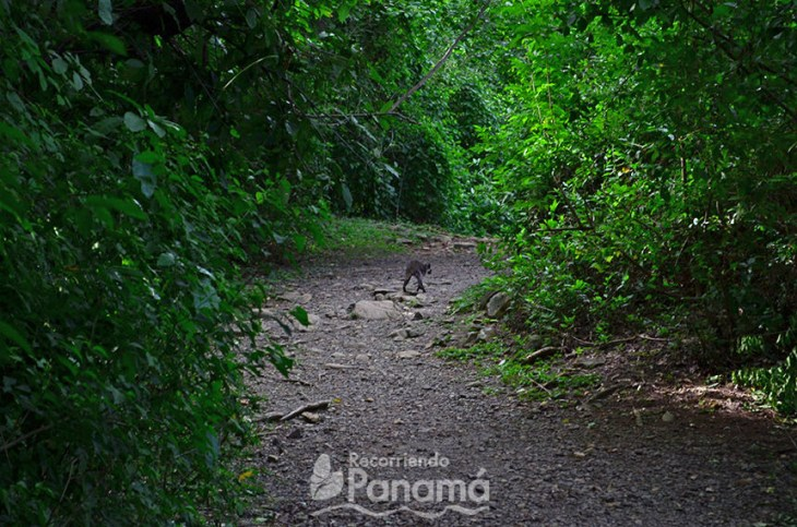 Raccoon on the trail