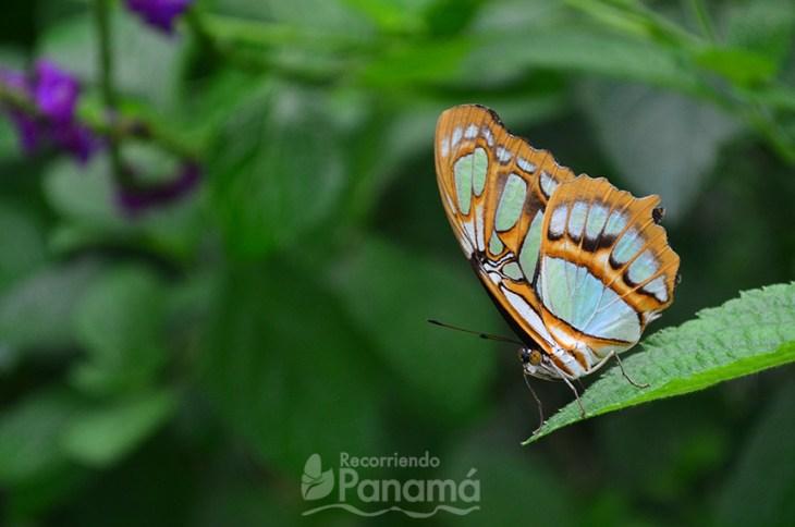 Mariposa Malaquita en el Mariposario Metropolitano
