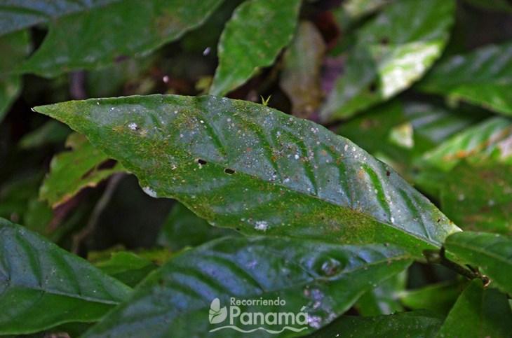 Planta que vive dentro de la hoja de otra planta.