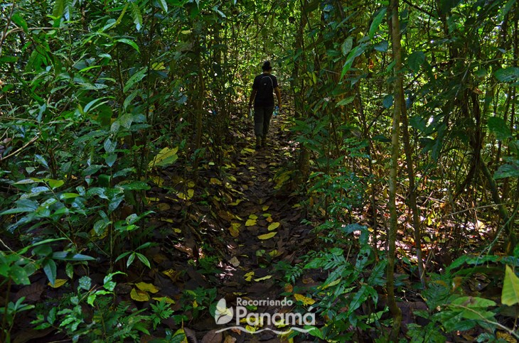 One of the trails covered by the leaves of the trees in Barro Colorado Island