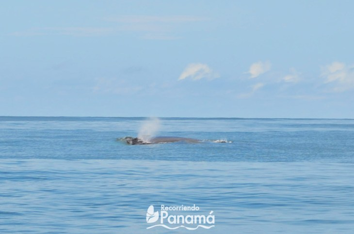 Whale expelling the air from its lungs on the whale watching