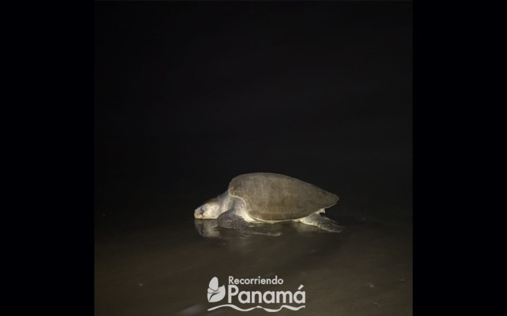 One of the turtles that has reached Cañas Island
