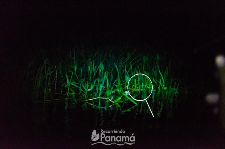 Crocodile eyes are seen at night when illuminated by a flashlight at Night Safari