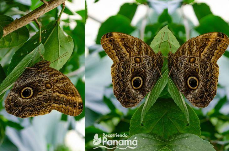 Mariposa Caligo Ojo de Búho en el Mariposario de El Valle de Antón