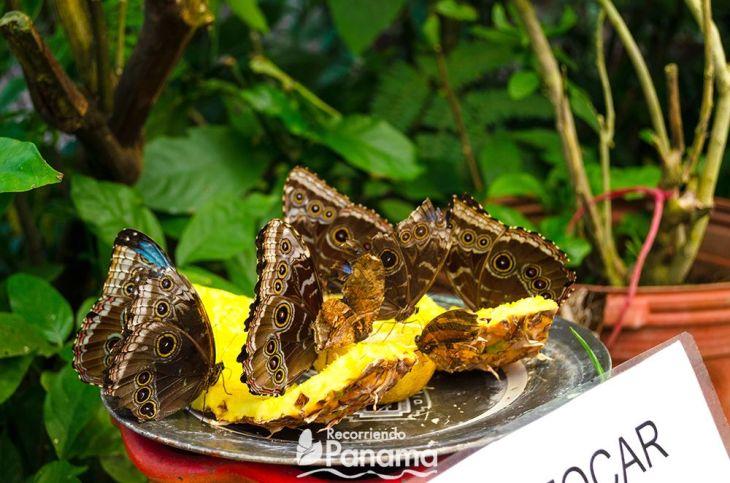 Mariposas comiendo.