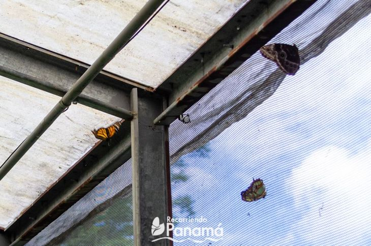 En el centro la Mariposa Alas de Cristal.