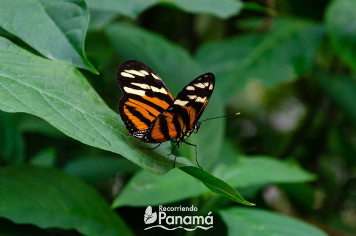 Mariposa Tigre Alas Largas.