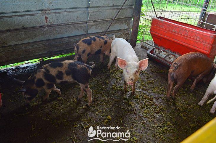 Cerdos. Agro Tour, La Granja Campo y Aventura
