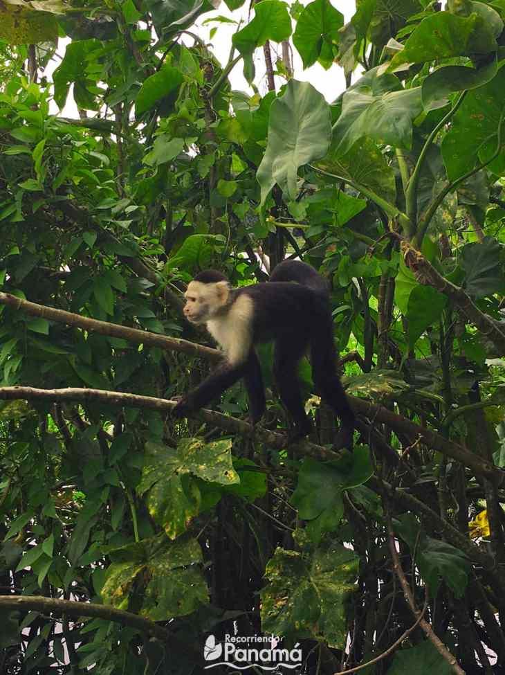Mono Cariblanco de la Isla de los Monos.