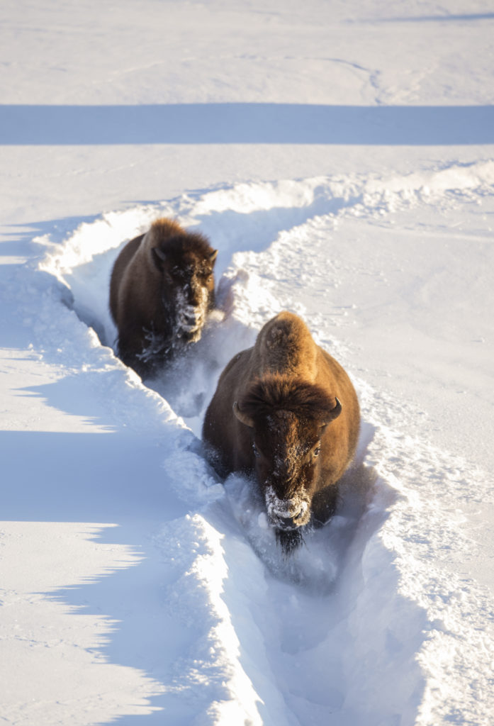 Bison traveling down a snow trail in Yellowstone National Park in Wyoming as one of the best RV destinations in December.