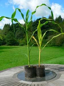 Which plant got the bokashi?