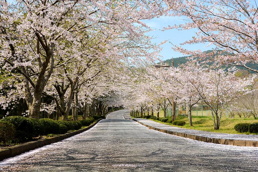 山滝野 桜01