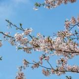 2015.04 – 君津市 -山滝野 桜-(2)
