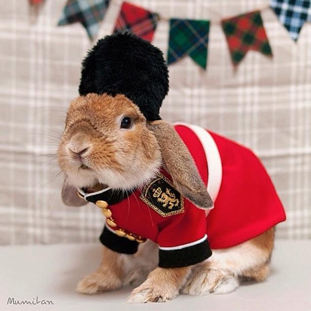 Conejo Pui Britanico