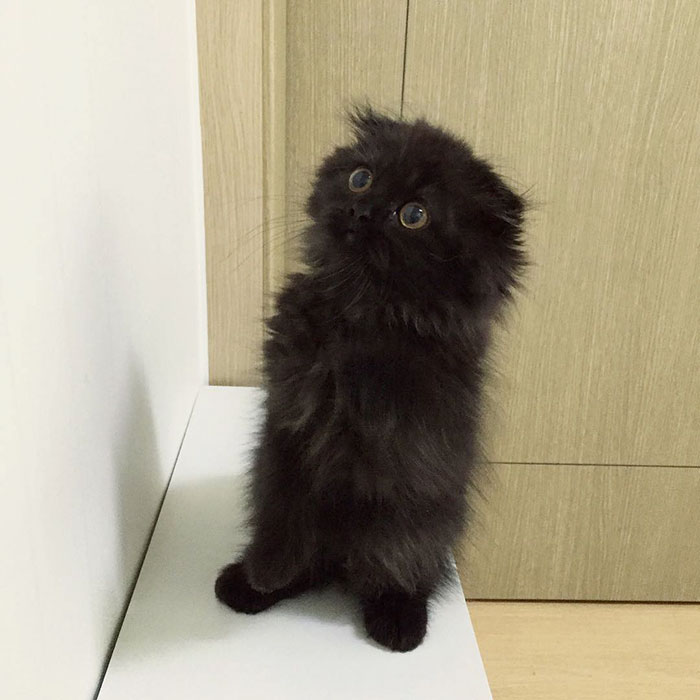 big-cute-eyes-cat-black-scottish-fold-gimo-1room1cat-211
