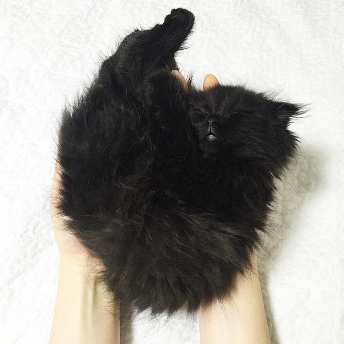 big-cute-eyes-cat-black-scottish-fold-gimo-1room1cat-341