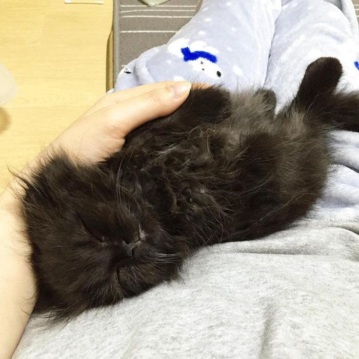big-cute-eyes-cat-black-scottish-fold-gimo-1room1cat-44